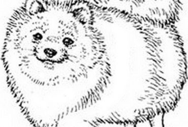 Cuccioli di volpino piccola taglia regalo