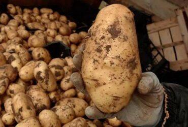 Agricoltore astigiano vende direttamente patate novelle