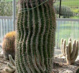 Cactus gigante vendo